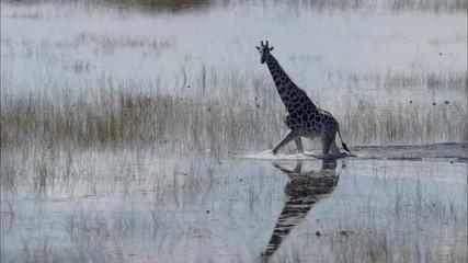 Africa Savanna Giraffe