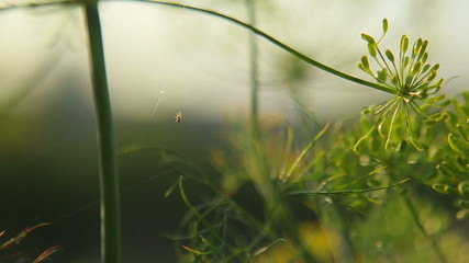 The spider weaves a web of on the stems of dill