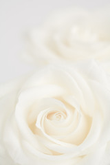 Ivory roses close up