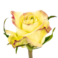 Bicolored rose isolated on white