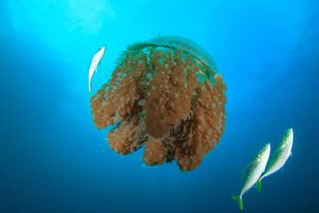 Large Pelagic Jellyfish surrounded by fish