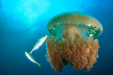 Large Pelagic Jellyfish surrounded by fish