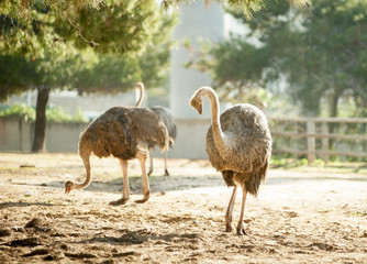 ostriches in safari park
