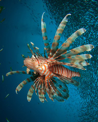 Lionfish hunting school of Snapper fish