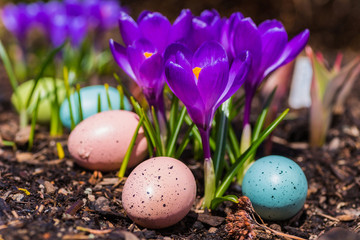 Crocus Flowers and Easter Eggs