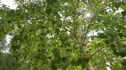 Birch, leaves, sun, shooting from a low angle