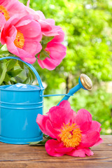 blooming pink peonies and water can in garden