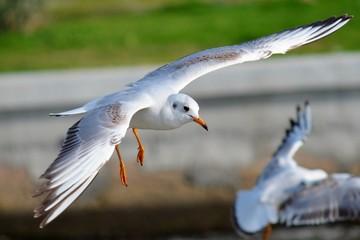 Seagull Flying,Seagull, Gull