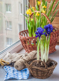Bulbous iris and daffodils in baskets on window.