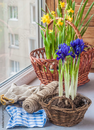Foto op Canvas Iris Bulbous iris and daffodils in baskets on window.