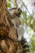Fluffy lemur on a tree