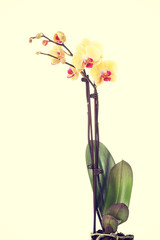 Yellow fresh beautiful orchid.
