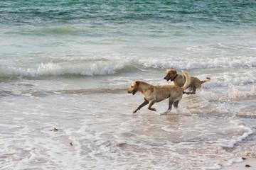 labrador retrievers running in the water