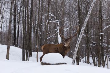 Male elk in a winter scene