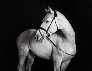 Holsteiner Pferd weiß vor schwarzem Hintergrund