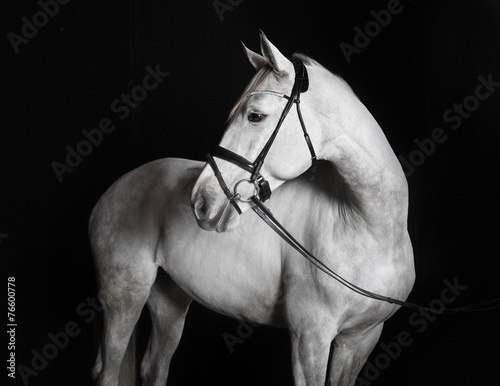 Deurstickers Paarden Holsteiner Pferd weiß vor schwarzem Hintergrund