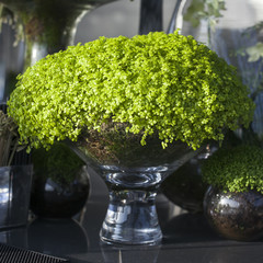 Soleirolia soleirolii in the pot as decoration of dining table
