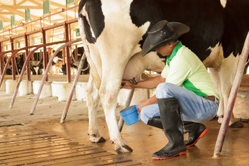 Workers are milking the cows by hand.
