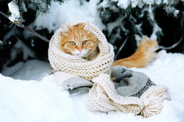 Red cat wrapped with scarf