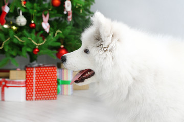Playful Samoyed dog in room with Christmas tree on background