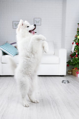 Samoyed dog execute a command in room with Christmas tree