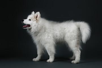 Lovable Samoyed dog on dark background