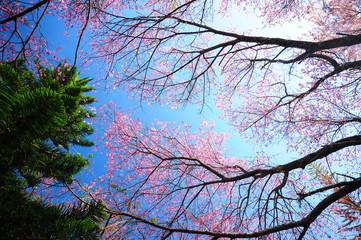 Spring Cherry Blossom Branches