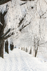 Winter alley with snow covered trees