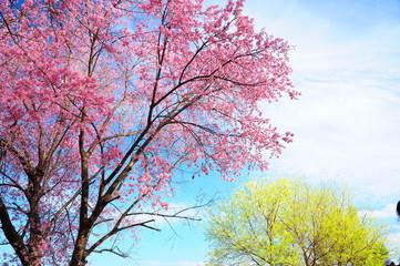Superb Pink Cherry Blossoms