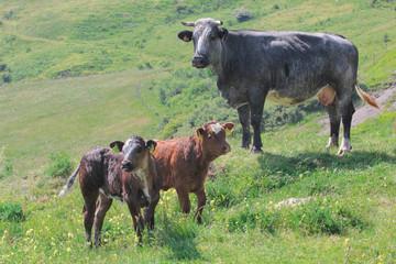 Mucca con vitelli