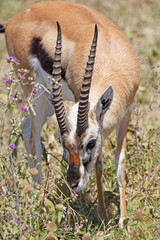 Thomson's gazelle grazing