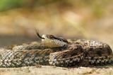 beautiful venomous european snake poster
