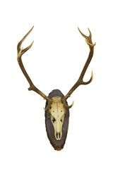 beautiful red deer buck trophy on white