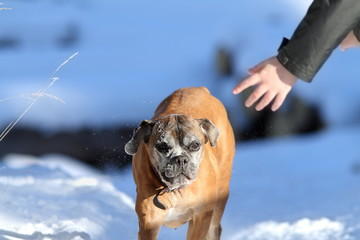 boxer dog running towards human hand