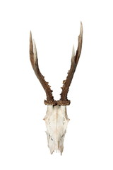 isolated roebuck hunting trophy