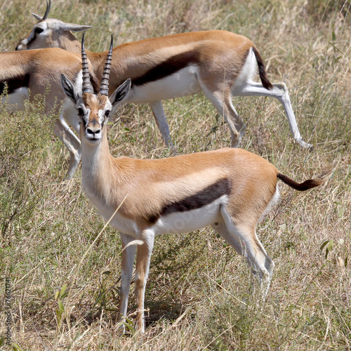 In de dag Antilope Thomson's gazelle looking at camera