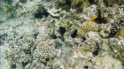 Corals, fish and sea urchins in the Red Sea - Egypt