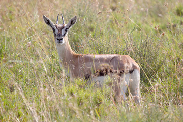 Young Thomson's gazelle looking at camera