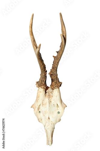 Fotobehang Ree roebuck hunting trophy