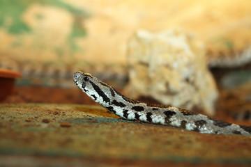 vipera palaestinae closeup