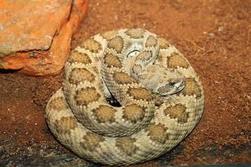 western rattlesnake basking in terrarium