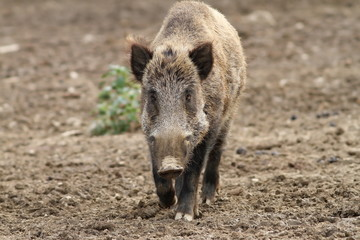 wild boar coming towards the camera