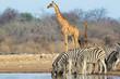 Plains zebras and giraffes, Etosha National Park