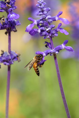 Lavender flower with bee