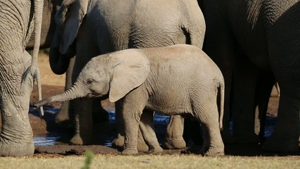 Elephant calves, Addo Elephant National Park, South Africa