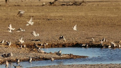 Cape turtle doves at a waterhole, Kalahari desert