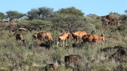 Red hartebeest antelopes feeding in natural habitat
