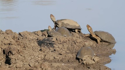 Helmeted terrapins resting at the water edge