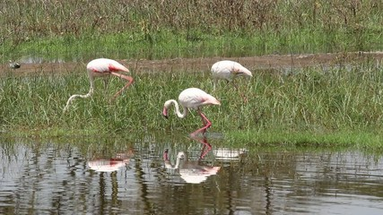Greater flamingos, Lake Nakuru National Park