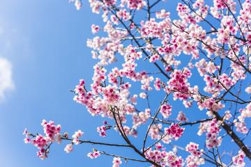 沖縄 早咲きの桜 日本一早く開花する桜